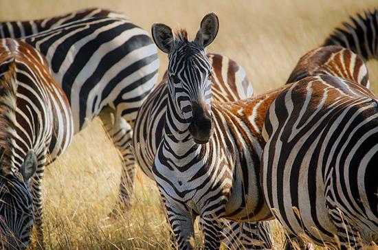 Британские учёные объяснили, зачем зебрам полоски