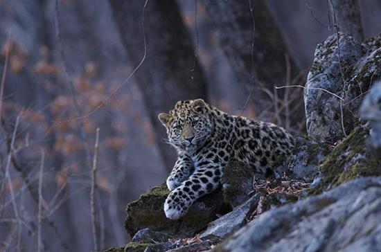 Минприроды планирует утвердить новую стратегию сохранения переднеазиатского леопарда на Кавказе