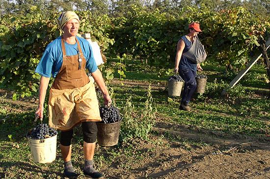 В Севастополе безработных отправили убирать виноград
