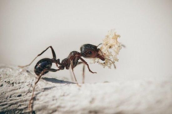 Учёные раскрыли секрет выносливости муравьёв