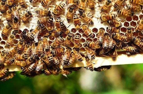 В России готовятся новые правила содержания медоносных пчёл
