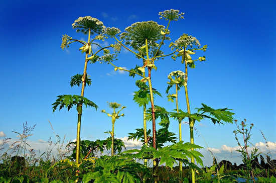 Страны СНГ повысят контроль за вредными растениями и болезнетворными организмами