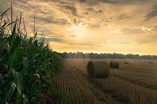 В Минсельхозе хотят нарастить производство отечественных гибридов кукурузы