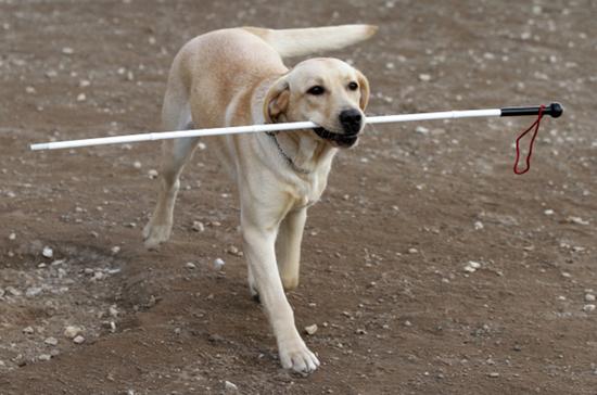 Собак-поводырей предлагают считать исключением из правил
