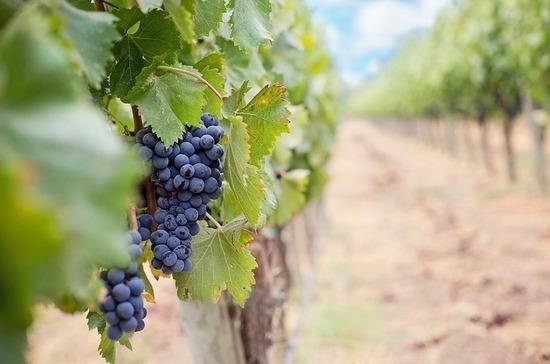 Отечественным виноградарям хотят помочь субсидиями на иностранную лозу