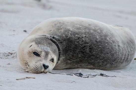 В Минприроды объяснили массовую гибель тюленей в Каспийском море