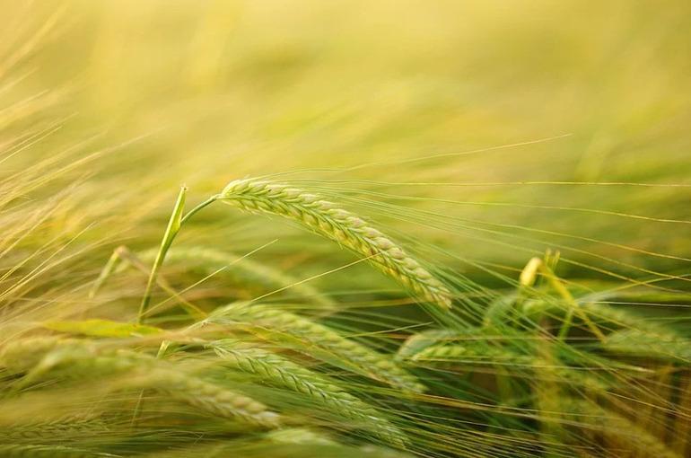 Минсельхоз предложит кабмину запасти 3 млн тонн зерна на случай роста цен