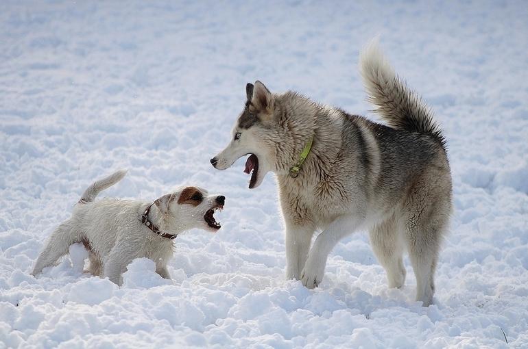 Зоозащитники объяснили, почему в России не удаётся прекратить проведение собачьих боёв