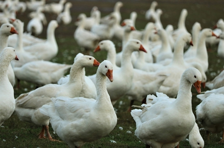 В Китае произошла новая вспышка птичьего гриппа