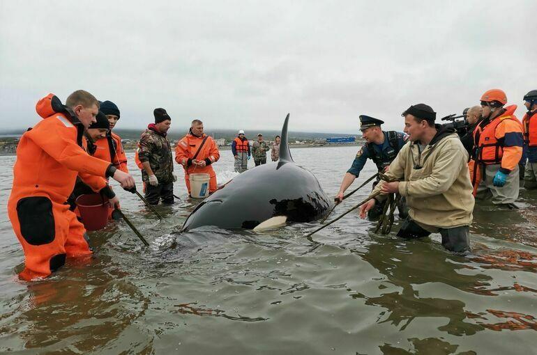 В Магаданской области спасли попавшего на отмель детеныша косатки