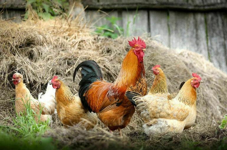 Минсельхоз: ситуация на рынке птицеводческой продукции стабильная