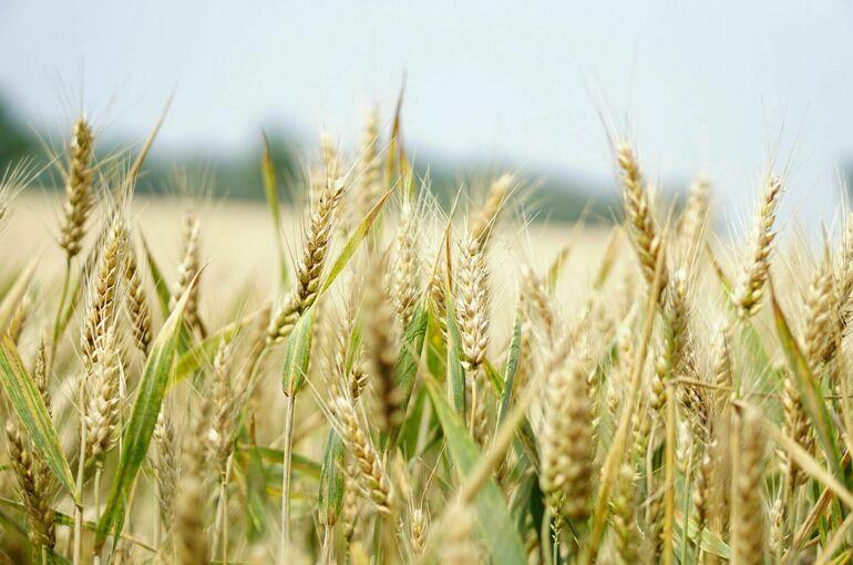 Кабмин выделил более 10 млрд рублей на поддержку производителей зерна