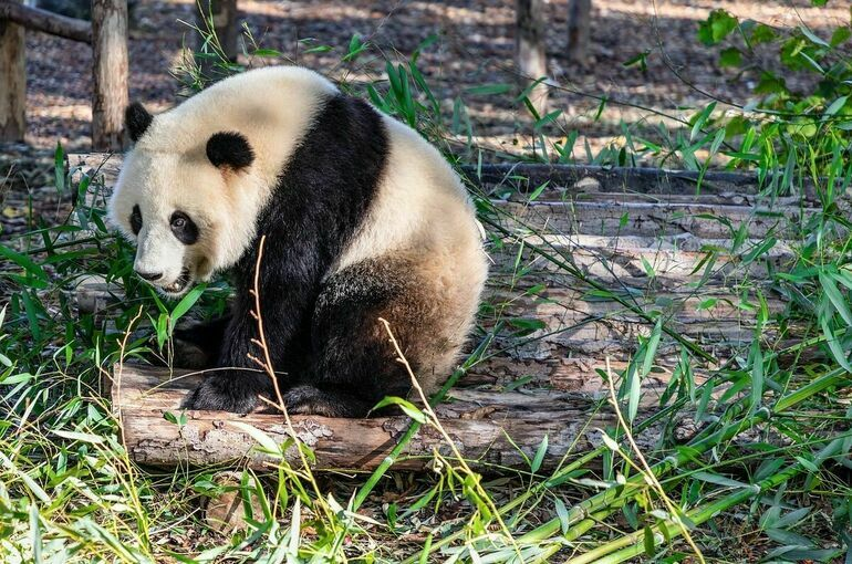 В Китае подсчитали количество заповедников и панд