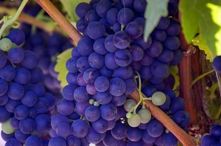 В России появится новая категория земель под «возделывание винограда»